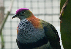 Prachtfruchttaube - Superb Fruit Dove (Goldstern82) Tags: winter bird animal germany geotagged deutschland zoo taube deu tier vogel badcannstatt wilhelma badenwrttemberg stuttgartbadcannstatt superbfruitdove ptilinopussuperbus prachtfruchttaube geo:lat=4880466500 geo:lon=920684500