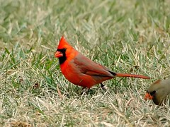 Northern Cardinal male (Jon Cormorant) Tags: male bird nature birds photography md cardinal wildlife sony maryland baltimore pointandshoot northern naturephotography birdphotography wildlifephotography hx1 joncorcoran sonyhx1 pnsbirdphotography marylandbased jccorlante
