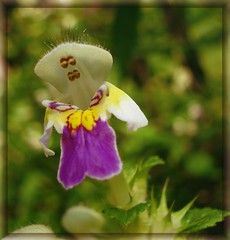 That beautiful season ... (Ashley1954) Tags: summer flower yellow purple ngc seeds wildflower lamiaceae itssnowing topshots hempnettle galeopsis natureselegantshots panoramafotogrfico saariysqualitypictures thebestofmimamorsgroups theoriginalgoldseal flickrsportal