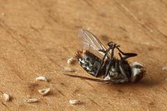 IMG_4437-3 (igorschutz) Tags: macro animal flash mosquito inseto mosca larva morto varejeira strobist
