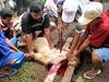 Potong kambing (Mangiwau) Tags: festival indonesia java blood eid goat goats jakarta gore cutting lamb lambs throat kambing bogor slaughterhouse sacrifice slaughtering adha sacrificial potong idul dipotong