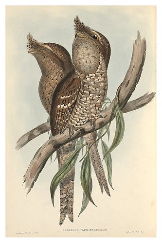 013-Podargus plumiferus-The Birds of Australia  1848-John Gould- National Library of Australia Digital Collections