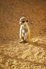 meerkat pup (Missud) Tags: baby cute animal animals canon germany deutschland zoo tiere meerkat pup tierpark offspring tier 2010 rheinlandpfalz erdmännchen meerkats nachwuchs jungtier eos500d zooneuwied