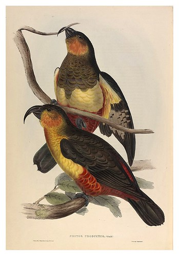 027-Loro de la isla Phillips-The Birds of Australia  1848-John Gould- National Library of Australia Digital Collections