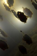 Shark Eggs or Alien Pods? (mrjoro) Tags: sanfrancisco california goldengatepark museum aquarium lenstagged unitedstatesofamerica egg californiaacademyofsciences academyofsciences starred canonef24105f4l sharkegg canon5dmarkii