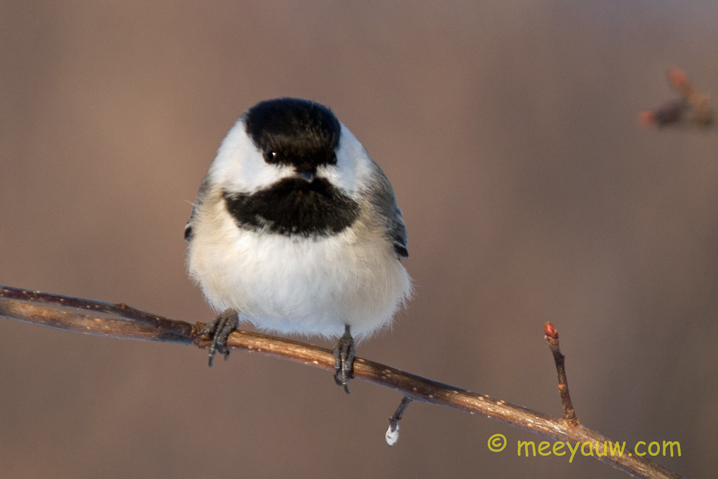Black-capped chickadee   10.jpg