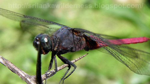 Pink Skimmer(Orthetrum pruinosum)