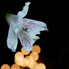 Out Of The Darkness (btn1131) Tags: flowers plants floral sony a33 di tamron 18200 xr slt alstromeria cutflowers