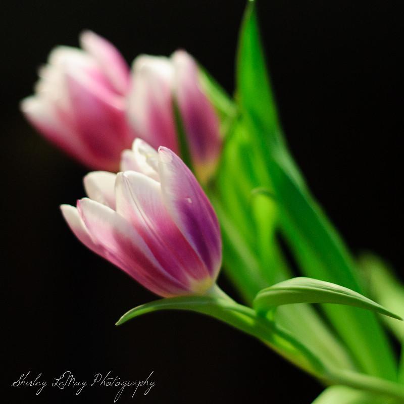 Open Blooms