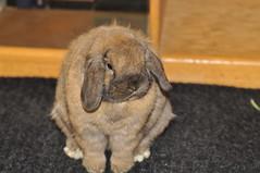 my little buddy Toffee (sensitivebunnyguy) Tags: bunnies lopear houserabbits cutebunnyphotos neyherlanddwarf