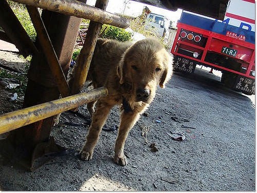 「需要支援」台中后里正隆造紙廠附近~救援虛弱的黃金獵犬哈利寶弟弟~住院醫治中~需要醫療助認養,謝謝您~20110121