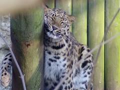 440-09L (Lozarithm) Tags: wildlife marwell bigcats leopards flickrbigcats