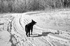 friend (nosha) Tags: dog friend wolf vermont trish newyears vt niels 2010 lightroom nosha nikond40 sharonvermontusa