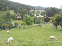Green Grazing (mikecogh) Tags: green grass pretty sheep tasmania livestock grazing dover bucolic farsouth