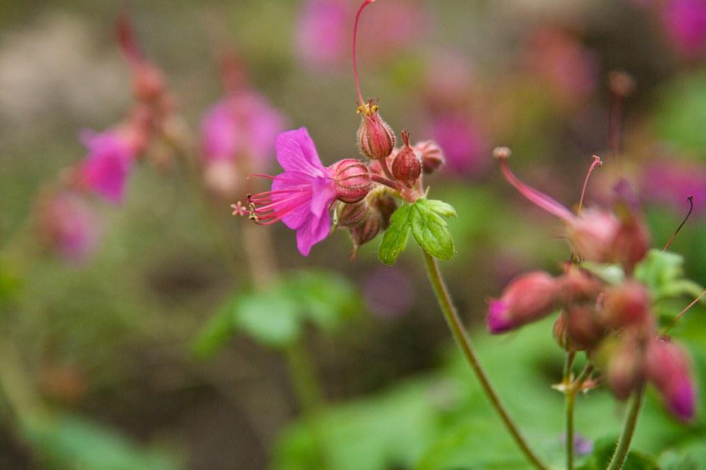 geranium macrorrhizum bevans variety  252