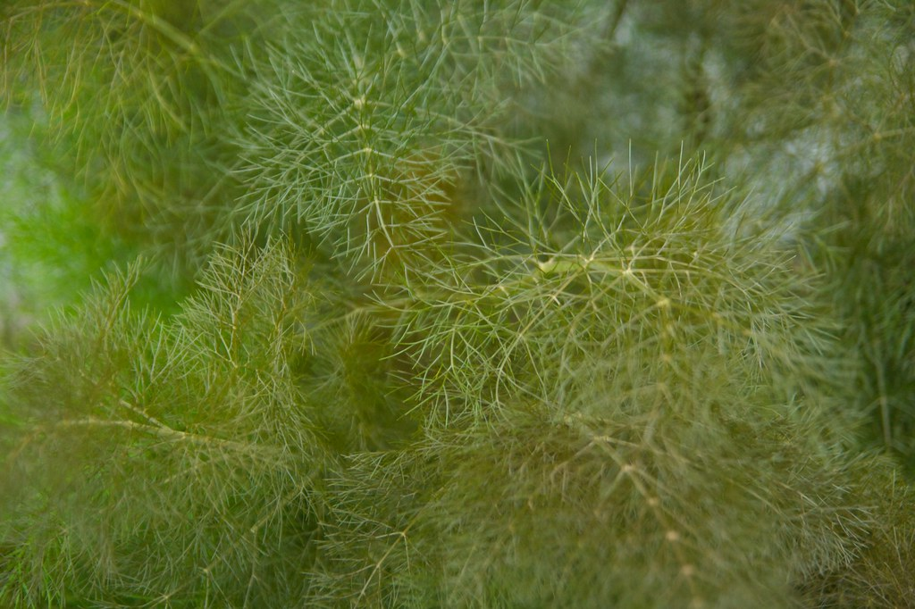 bronze fennel  283