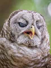 EM1B1657-Edit (Bob Gilley) Tags: bored barred owl captive