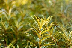 (klgfinn) Tags: autumn balga buckthorn landscape leaf seabuckthorn shore tree