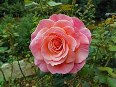 Salisbury 2016 (Sweet Mango 1965) Tags: salisbury 2016 rose pink flower bloom blooming