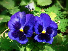 Violets (R_Ivanova) Tags: nature flower flowers blue colors color summer sony macro garden rivanova