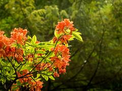Mnchen Botanischer Garten (olipennell) Tags: blte botanischergarten mnchen nymphenburg pflanze rhododendron