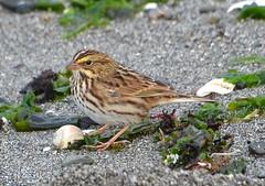 Savannah Sparrow 10-6-16 (Carol Riddell) Tags: bird sparrow passerculus savannahsparrow birdsofedmonds birdsofsnohomishcounty washingtonbirds marinabeach