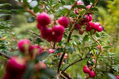 magenta-ish berries in the garden (grahamrobb888) Tags: nikond800 sigma20mmf18 birnam tighnabeithe perthshire scotland autumn berries fruit bokeh garden
