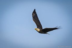 American Bald Eagle--10 (j.strome) Tags: americanbaldeagle