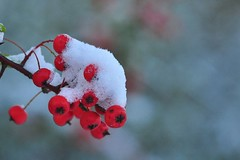 Holly Berries (kfjmiller) Tags: november winter snow macro nature berry snowy glasgow queenspark hollyberries sigma105mm