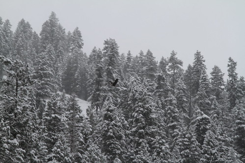 Eagle flying over the Wallowa
