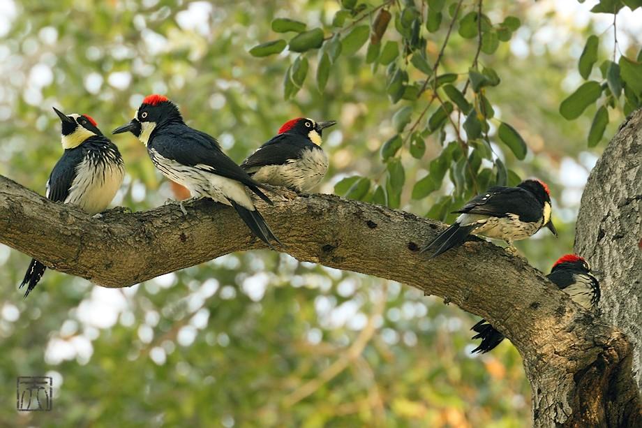 Acorn Woodpecker112810-3