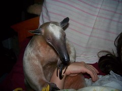 Anteater snuggle time