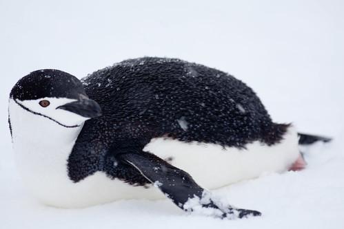 [フリー画像] 動物, 鳥類, ペンギン科, ヒゲペンギン, 201012091700