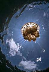 _DSC4556 lrws (gerb) Tags: water topv111 1025fav 510fav wow cool topv555 topv333 jellyfish underwater topv1111 topv999 fv5 pi sunburst topv777 d200 palau aquatica 105mmf28gfisheye tvx snellswindow orcadivers