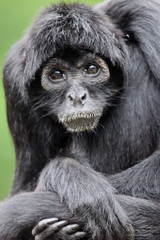 Observing the Observer (Colombian Black-faced Spider Monkey) (mikel.hendriks) Tags: zoo monkey photo foto nederland thenetherlands aap apeldoorn spidermonkey primates dierentuin newworldmonkey criticallyendangered slingeraap primaten blackspidermonkey colombianspidermonkey atelesfuscicepsrobustus brownheadedspidermonkey canoneos50d atelidae bruinkopslingeraap schwarzerklammeraffe colombianblackfacedspidermonkey blackheadedspidermonkey slingerapen sigma120400mmf4556apodgoshsm apelheul grijpstaartapen colombianblackspidermonkey atelesfusciceps klammerschwanzaffe colombiaanseslingeraap grijpstaart apenvandenieuwewereld