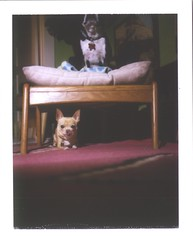 monday night dogs (EllenJo) Tags: pets chihuahua cute home dogs polaroid bostonterrier yum furniture ivan livingroom floyd homesweethome 2010 footrest lickingchops age7 holgaflash fujifp100c thelittledoglaughed redrug fujiinstantfilm colorpack2 ellenjo ellenjoroberts december2010 5poundsoffury handsomechihuahua december62010 thecutestdogwhoeverlived