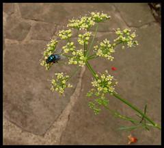 mosca varejeira (Lus Andr Pacheco) Tags: mosca varejeira
