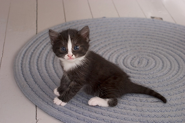 cute foster kitten tiny black white tuxedo
