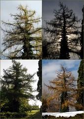 a year in the life (overthemoon) Tags: autumn winter summer tree collage night four schweiz switzerland spring day seasons suisse mosaic picasa svizzera larch vevey vaud romandie mlze laryxdecidua