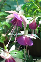 Fuchsia 'Martha' (pennyeast) Tags: flower botanical fuchsia capetown papaalphaecho