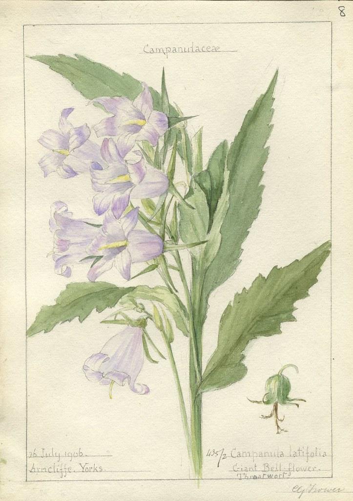 Campanula latifolia, Yorkshire, 1906