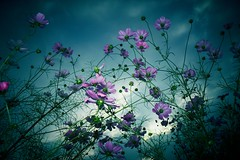 www.cnimages.com (kuula2000) Tags: china flowers flower color art beautiful bravo explore aphoto flickrsmileys aplusphoto d700 云南的印象