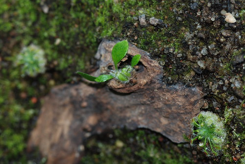 Cephalotus Typical
