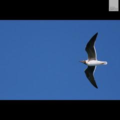 Seagull of Liberty. (malina.opitz) Tags: bird animal seagull egypt afrika möwe aire luft ägypten hurghada fliegen