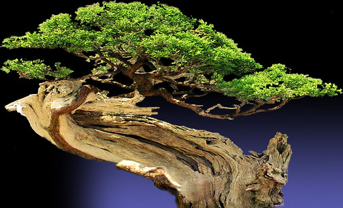 """Bonsai006 • <a style=""""font-size:0.8em;"""" href=""""http://www.flickr.com/photos/30735181@N00/5261954368/"""" target=""""_blank"""">View on Flickr</a>"""