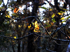 Autumnal Twiggery (Jason A. Samfield) Tags: trees orange abstract tree green leaves yellow contrast golden twilight branch dof bokeh branches depthoffield tones twigs depth tone autumnal goldenhour thicket goldenlight magiclight orangehues orangehue yellowhues smallbranches largerbranches