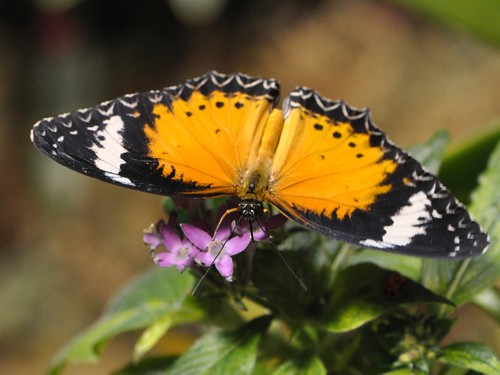 Leopard Lacewing top view... December 2010