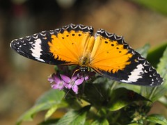 Leopard Lacewing top view... December 2010 (toryporter (back... never catching up!)) Tags: pink orange white newyork black macro green nature beauty butterfly insect wings colorful ngc tropical antennae proboscis 2010 pentas butterflyconservatory potofgold naturesfinest leopardlacewing cethosiacyane coth supershot specanimal nikond90 natureselegantshots 105mmf28vrlens coth5 toryporter damnblog cothblog