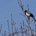 Pica pica - Black-billed Magpie