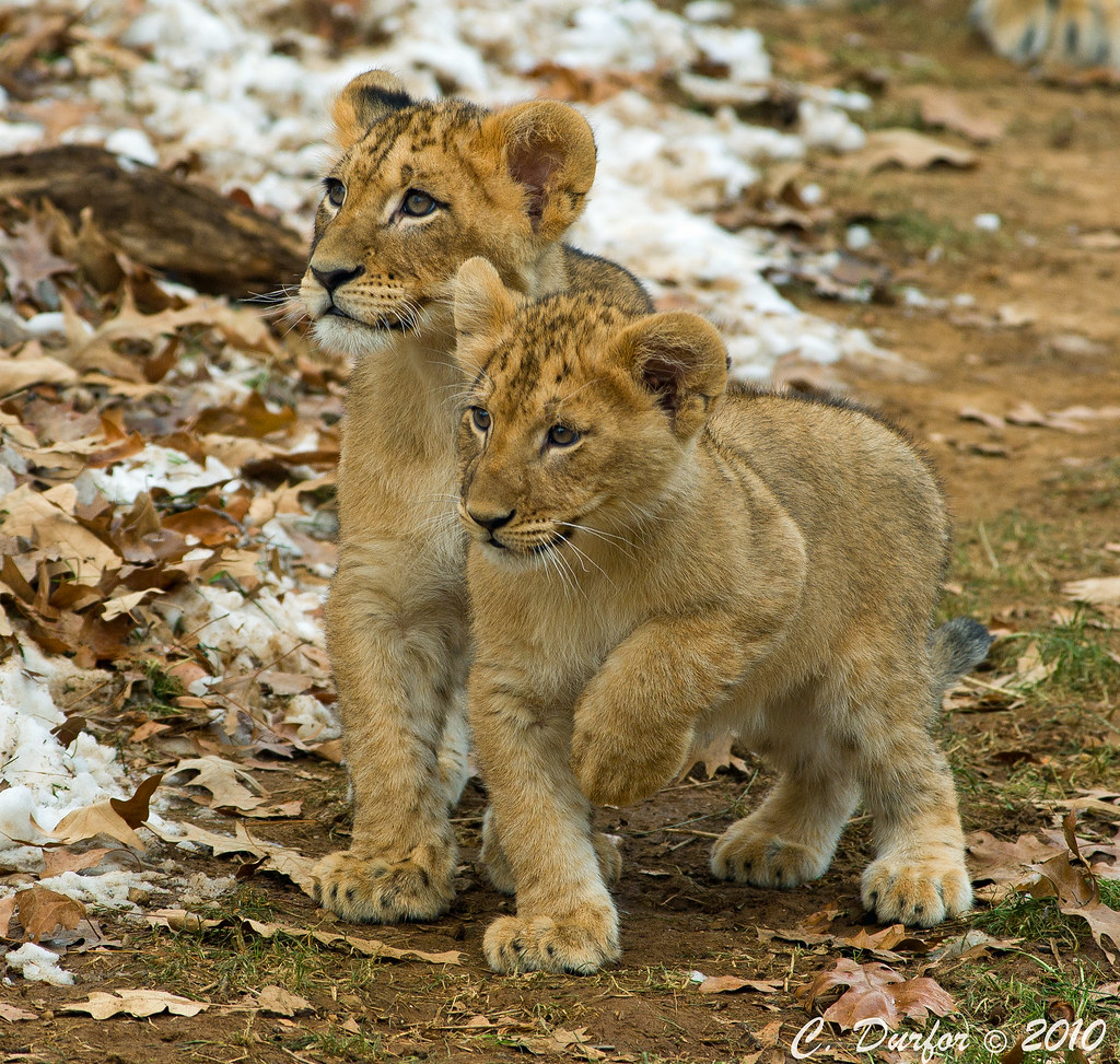 Lion Facts for Kids  African Animals  Big Cats